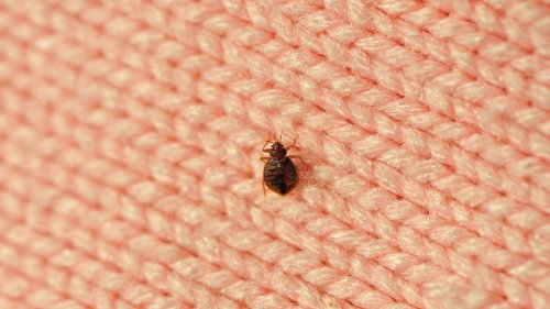 The terror of every pilgrim: bed bugs!