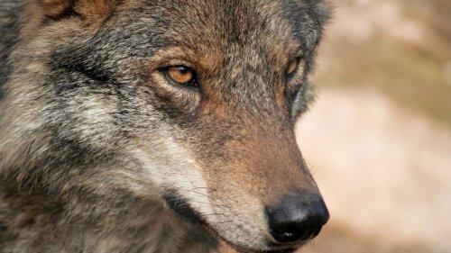 Wolf Safari